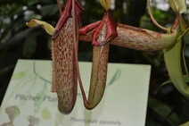 Nepenthes spp. - Tropik etçil bitkiler - Tropical pitcher plants